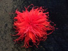 PEARLFLOWER - röd